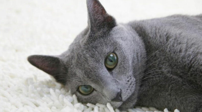 Russian blue cat harga